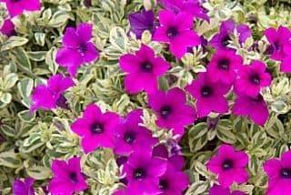 Petunia Surfinia® Variegated Mini Purple